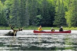Bei einer Kanufahrt über einen der Seen kann man mit etwas Glück Elchen beim Baden zusehen. Foto: FTI